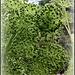 Angelica archangelica  (4)