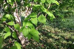 Betula albosinensis 'Hergest' (2)