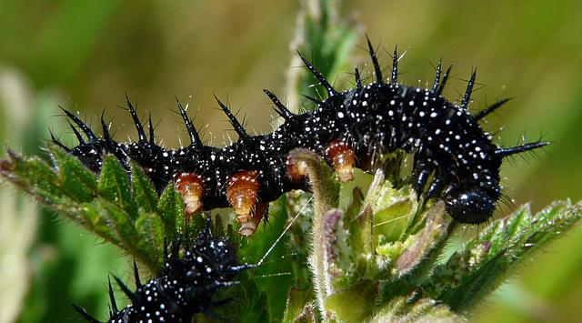 Peacock Butterfly Caterpillar