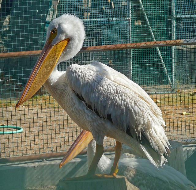 Pelican (1452)