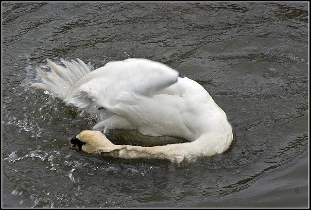 Swan having a wash