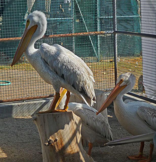 Pelicans (1450)