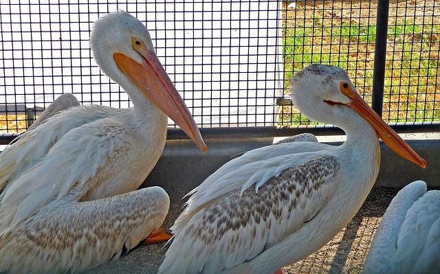 Pelicans (1453)
