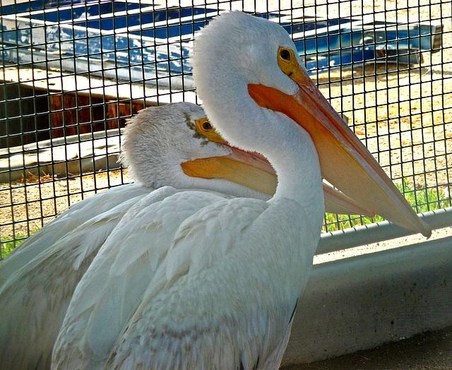 Pelicans (1459)