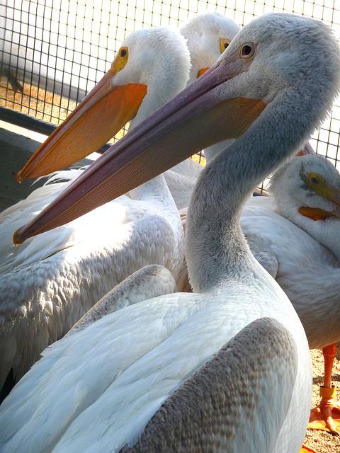 Pelicans (1466)