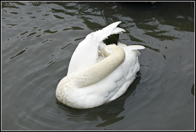 Swan having a wash