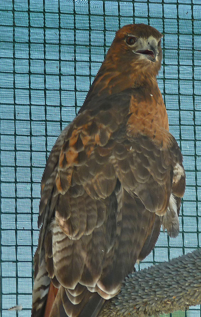 Red-Tailed Hawk (1431)