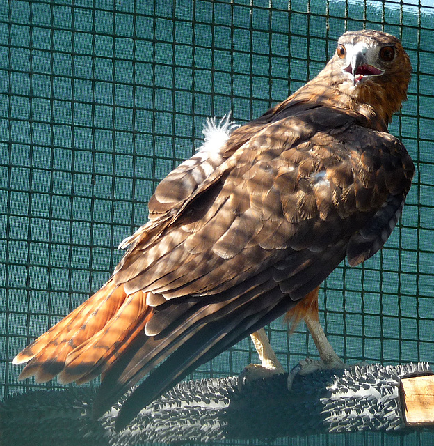 Red-Tailed Hawk (1436)