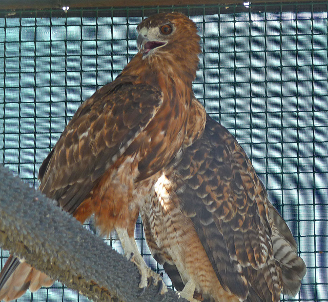 Red-Tailed Hawks (1433)