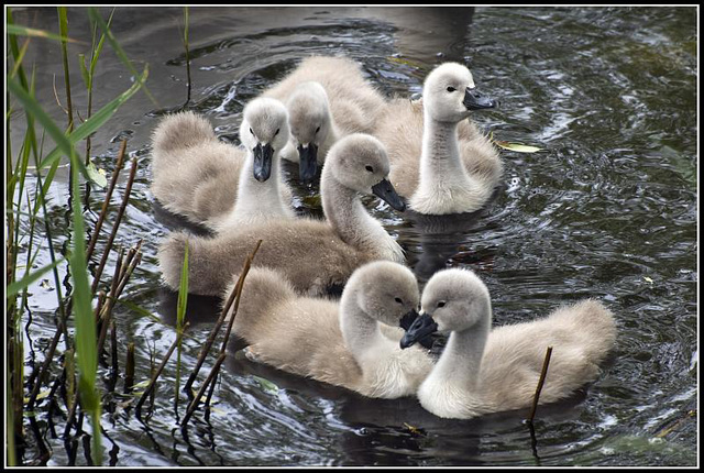 A family of Swans at Fort Brockhurst, Gosport
