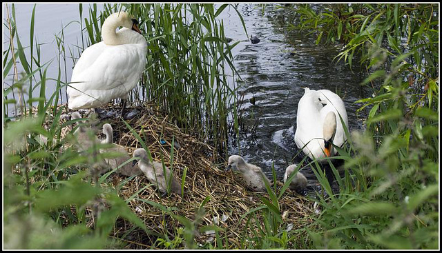 A family of Swans at Fort Brockhurst, Gosport