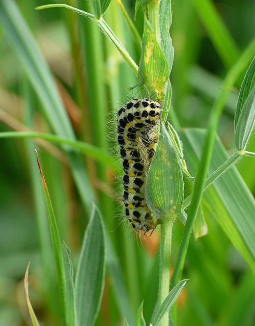 Narrow-bordered Five-spot Burnet Caterpillar