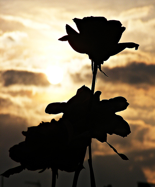 Roses against an evening sky