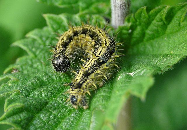 Small Tortoiseshell Butterfly Caterpillar