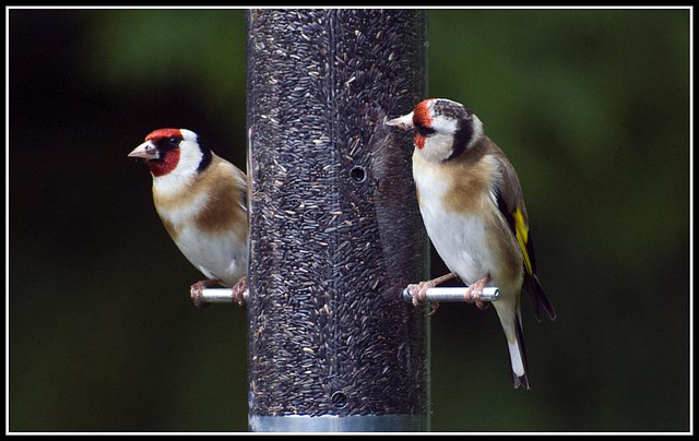 Goldfinches in the garden
