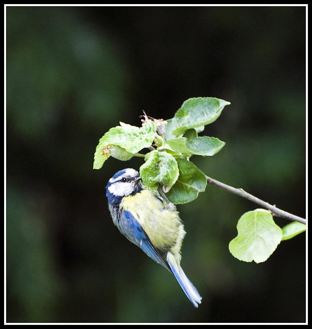Juvenile Blue Tit in the garden