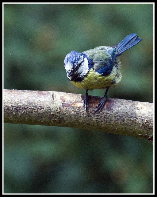 Juvenile Blue Tit in the garden