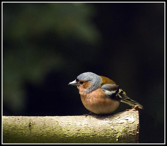 Chaffinch in the garden