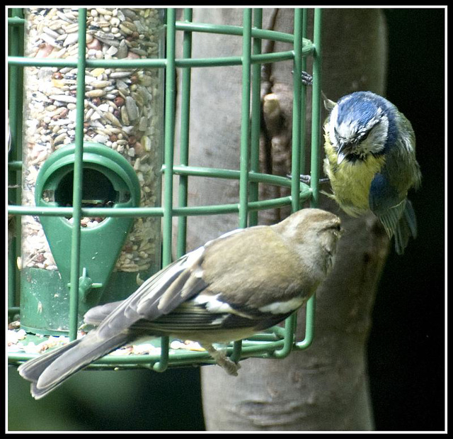 Juvenile Blue Tit and Chaffinch in the garden