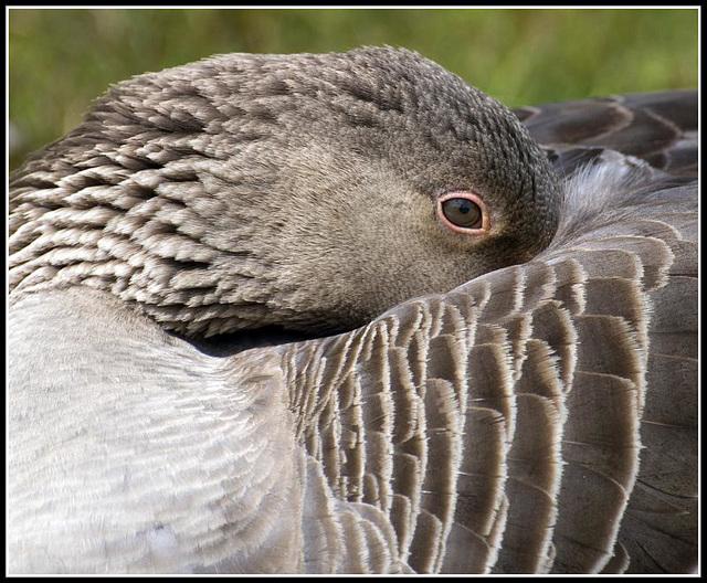 Greylag Goose - Crop Version
