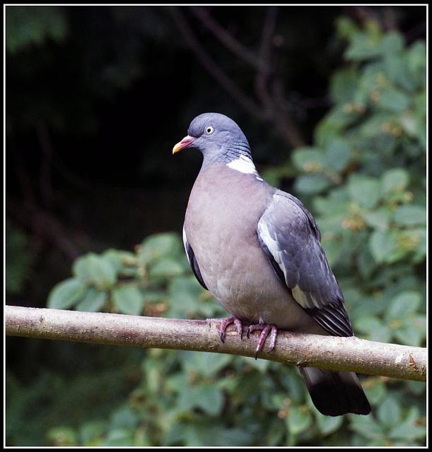 Wood Pigeon in the garden