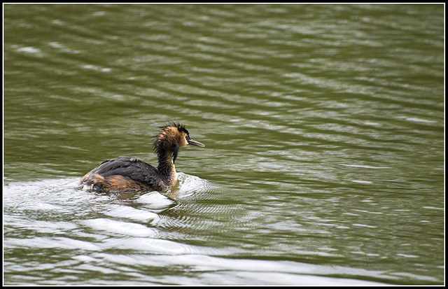 Great Crested Grebe at Lakeside Eastleigh