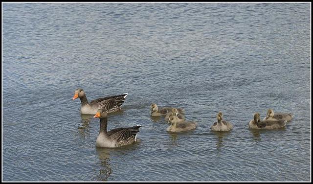 Greylag Geese with Goslings at Lakeside Eastleigh