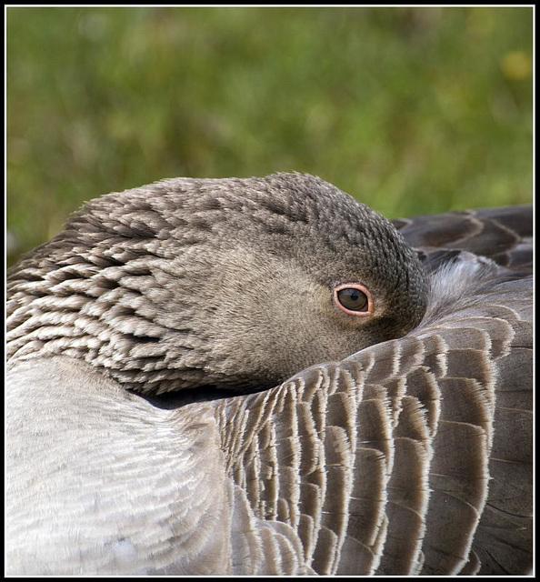 Greylag Goose at Lakeside Eastleigh