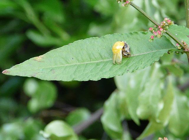 Emerging Ladybird Top