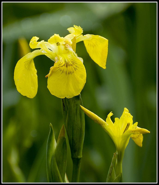 Yellow Iris at Lakeside Eastleigh