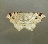 Peacock Moth