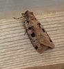 Double Square-spot Moth
