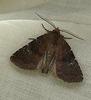 Brown Rustic Moth