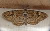 Mottled Beauty Moth