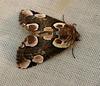 Peach Blossom Moth