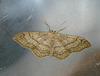 Riband Wave Moth