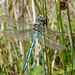 Emperor Dragonfly -Male Side