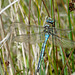 Emperor Dragonfly -Male Top
