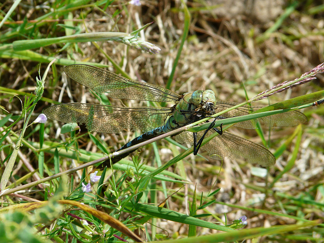 Emperor Dragonfly -Male with Lunch 1
