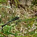 Emperor Dragonfly -Male with Lunch 2