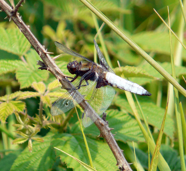 Broad Bodied Chaser -Male