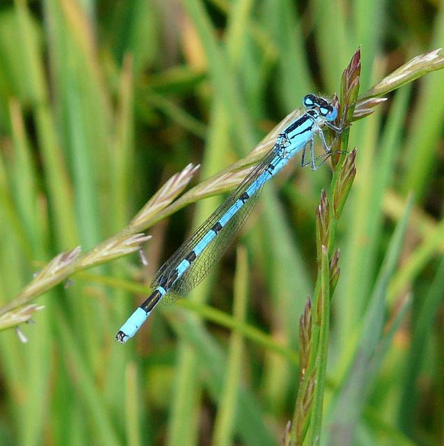 Common Blue Damselfly -Male