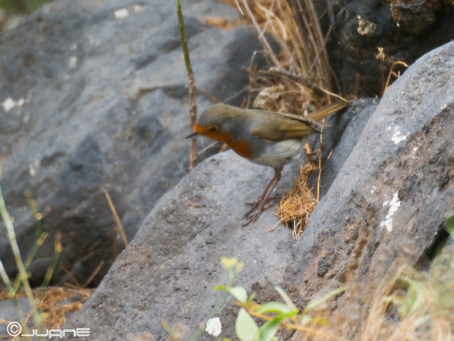 Petirrojo (Erithacus rubecula)