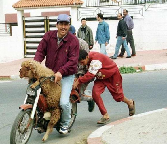 Dernier voyage du mouton... Fête de l'Aïd...