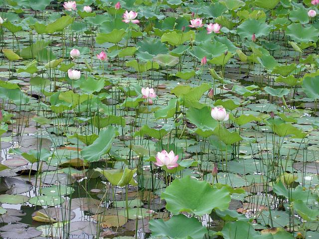 Lotusblütenfeld