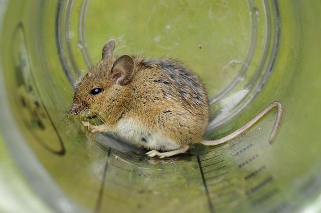 Maus - die Erste