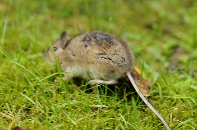 Maus - die Dritte