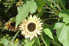 DSC05375 Sonnenblumen