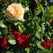 Rosenträume (2)