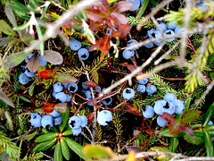 Bleuets /Blueberries